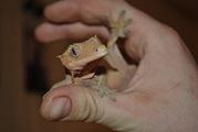 Продажа гекконов по низким ценам.