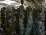 мицелий вешенки и шиитаке от 5 кг Днепропетровск