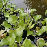 водный гиацинт ( эйхорния )