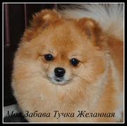 Предлагаем щенка померанского шпица