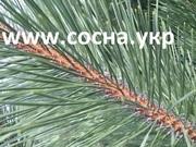 Купить елки оптом от производителя