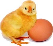 Инкубационное яйцо и цыплята