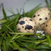 Инкубационное яйцо перепела «Фараон»
