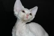 ДевонРекс,  белые котята!!!