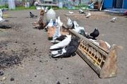 Продам голубей в Кривом Роге