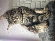 Котята породы мэйн-кун из питомника SevenSrars