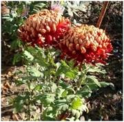 Хризантемы(укорененные черенки) почтой